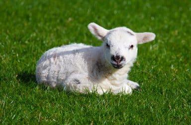 lil baby lamb