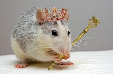 the king of the rats
