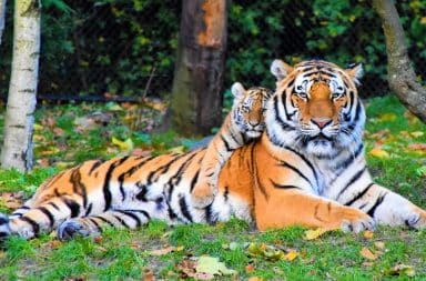 tigers, what majesty