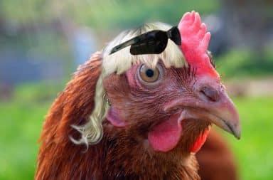 joe exotic but a chicken