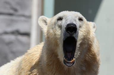Agitated polar bear howling