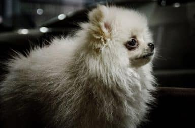 Pomeranian dog in the house
