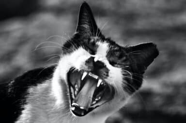 Angry cat with mouth open