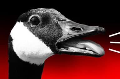 goose goose honk honk