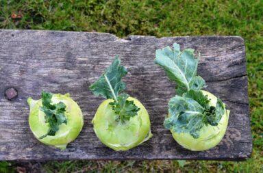 the vegetable known as kohlrabi