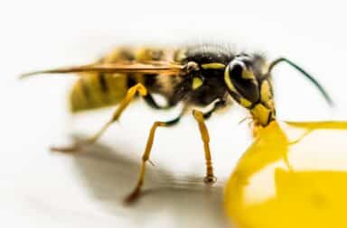 Wasp eating liquid