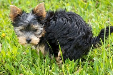 a dog pooping in grass