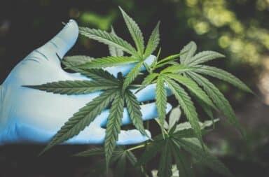 Marijuana leaves in gloved hands