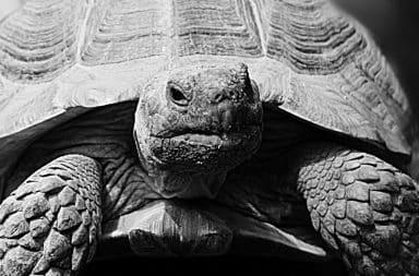 big tortoise