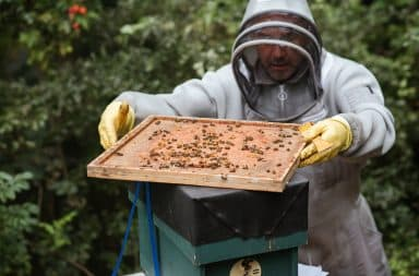 White man keeping bees in his backyard for honey