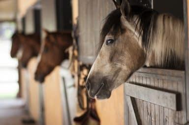 horses in the barn