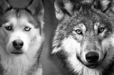 husky wolf
