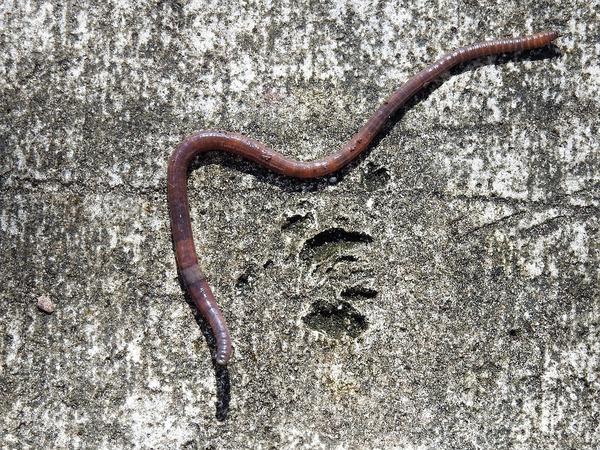 American earthworm